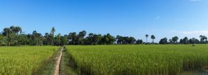 rice-fields-603416_640
